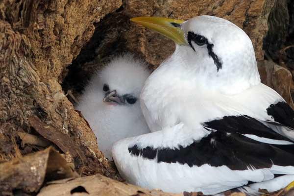 Nesting tropicbird